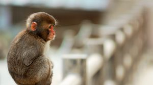 Preview wallpaper monkey, sitting, small