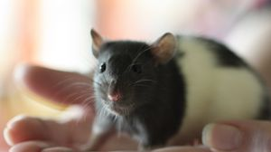 Preview wallpaper mouse, rat, face, rodent