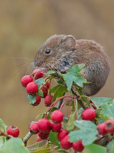Preview wallpaper mouse, rodent, bank vole, berries, hawthorn