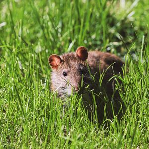 Preview wallpaper mouse, rodent, grass, wildlife