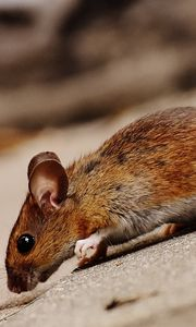 Preview wallpaper mouse, rodent, hill, downhill
