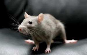 Preview wallpaper mouse, rodent, sitting, gray