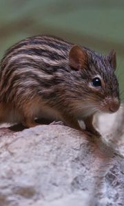 Preview wallpaper mouse, striped, rodent