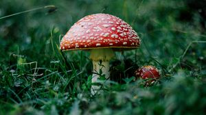 Preview wallpaper mushroom, fly agaric, grass, forest