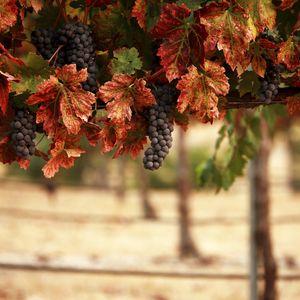 Preview wallpaper nature, leaves, blur, vineyard, grapes, landscape