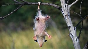 Preview wallpaper opossum, branches, trees, hanging
