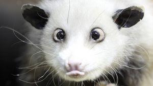 Preview wallpaper opossum, face, tongue, hair