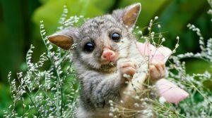 Preview wallpaper opossum, grass, flowers, animal