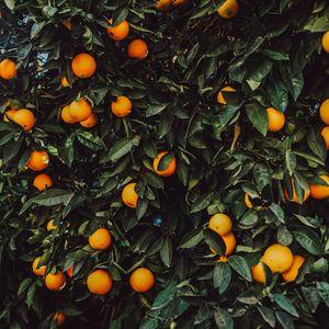 Preview wallpaper orange, bush, fruit, plant