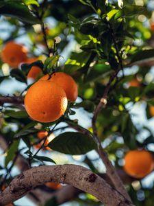 Preview wallpaper orange, fruit, tree, branch