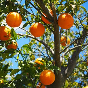 Preview wallpaper oranges, fruit, orange tree, citrus