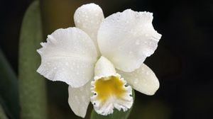 Preview wallpaper orchid, drops, white, flower, bud