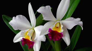 Preview wallpaper orchid, flower, exotic, leaf, two-tone