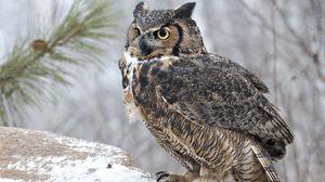 Preview wallpaper owl, bird, predator, look