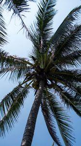 Preview wallpaper palm tree, tree, coconuts, sky, tropics