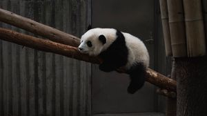 Preview wallpaper panda, animal, tree, bamboo