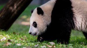 Preview wallpaper panda, animal, fluffy, glance