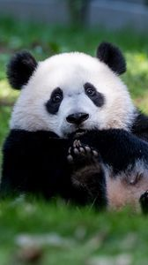 Preview wallpaper panda, animal, furry, cute, grass