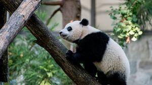 Preview wallpaper panda, animal, glance, trees