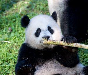 Preview wallpaper panda, bamboo, animal, funny, cute