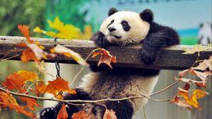 Preview wallpaper panda, bear, branch, tree