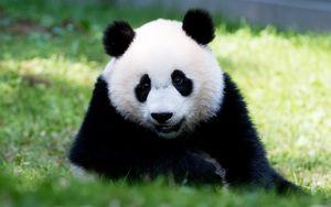 Preview wallpaper panda, fluffy, animal, glance