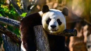 Preview wallpaper panda, glance, animal, wildlife