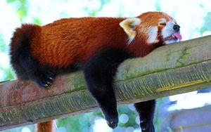 Preview wallpaper panda, lesser panda, red panda, branch, rest, sleep
