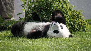 Preview wallpaper panda, lie, grass