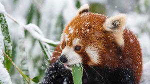 Preview wallpaper panda, red panda, snow, walk