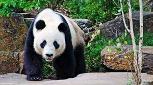 Preview wallpaper panda, stones, branches, walk, large