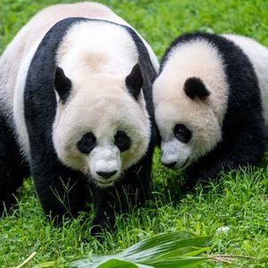 Preview wallpaper pandas, animals, family