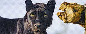 Preview wallpaper panther, animal, big cat, predator, wild, black