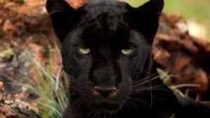 Preview wallpaper panther, eyes, predator, big cat, muzzle