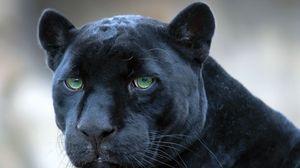 Preview wallpaper panther, face, big cat, predator