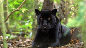 Preview wallpaper panther, grass, leaves, lie, predator