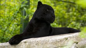 Preview wallpaper panther, lie, big cat, paws