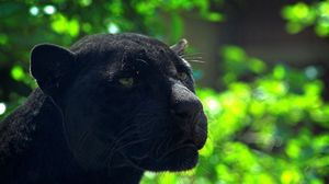Preview wallpaper panther, predator, face, glare, black