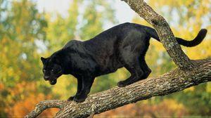 Preview wallpaper panther, timber, trees, big cat, predator