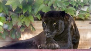 Preview wallpaper panther, wild cat, carnivore, black