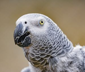 Preview wallpaper parrot, bird, beak, feathers, gray