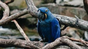 Preview wallpaper parrot, blue, bird