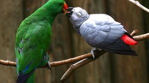 Preview wallpaper parrot, pair, branch