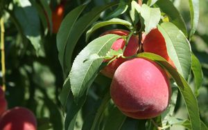 Preview wallpaper peaches, fruit, ripe, branches, leaves, macro