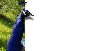 Preview wallpaper peacock, bird, color
