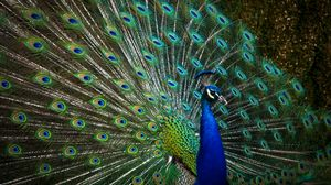 Preview wallpaper peacock, bird, feathers
