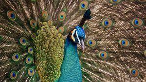 Preview wallpaper peacock, bird, plumage