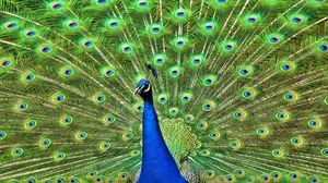 Preview wallpaper peacock, bird, tail