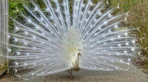 Preview wallpaper peacock, bird, tail, beautiful