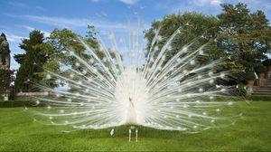 Preview wallpaper peacock, bird, tail, grass